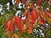 Sassafras leaves in fall.