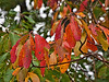 Sassafras leaves in fall.<br /> <br /> Near Cobblers Knob,<br /> Hidden Lake Gardens, Lenawee County, Michigan<br /> September 27, 2011