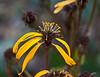 Composite wildflowers, past their prime.<br /> <br /> Toledo Botanical Garden, Ohio<br /> October 4, 2011