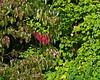 A few red leaves on a dogwood