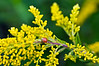 D244-2012 Ladybug on early goldenrod (that's its common name, as well as an apt description of it)<br /> .<br /> Hidden Lake Gardens, Lenawee County, Michigan.<br /> September 1, 2012