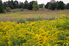 Goldenrod, the quintessential autumn meadow wildflower