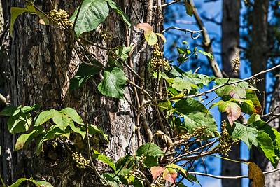 D246-2013  Poison ivy vine, with berries, climbing a tall pine tree.  Nichols Arboretum, Ann Arbor September 3, 2013