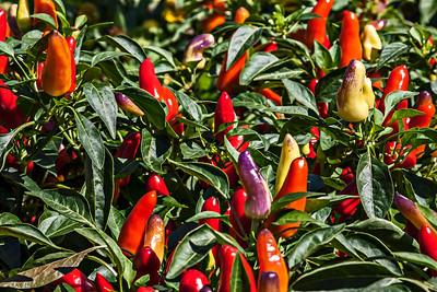 D261-2013  Ornamental chili peppers  Gazebo Gardens, Hidden Lake Gardens, Michigan September 18, 2013