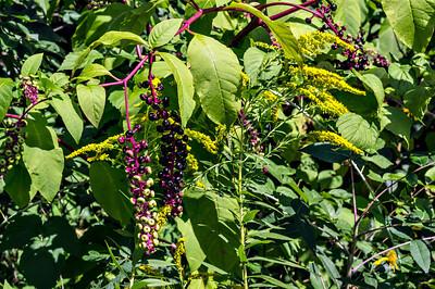 D246-2013  Pokeweed and goldenrod  Near Dow Prairie, Nichols Arboretum, Ann Arbor September 3, 2013