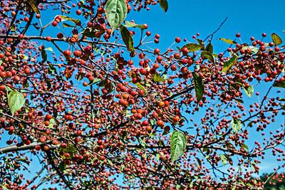 D246-2013  Crab apples  Nichols Arboretum, Ann Arbor September 3, 2013