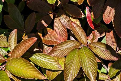 D261-2013  Viburnum leaves beginning to turn.  Hidden Lake Gardens, Michigan September 18, 2013