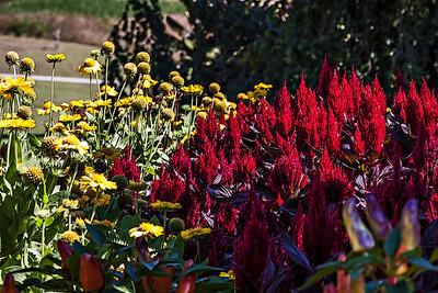 D261-2013  Celosia  Gazebo Gardens, Hidden Lake Gardens, Michigan September 18, 2013