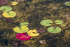 D228-2014  Lily pads beginning to turn.<br /> The red one is upside down, having somehow been ripped away from its anchoring stem.<br /> <br /> Maltby Lake, Huron Meadows Metro Park<br /> August 16, 2014