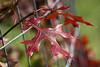 D268-2014  Red oak or pin oak or scarlet oak leaf.<br /> <br /> Matthaei Botanical Gardens, Ann Arbor<br /> Taken September 25, 2014