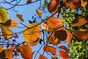 D266-2014  Fall foliage  <br /> Dogwood leaves with back lighting.<br /> <br /> Hidden Lake Gardens, Michigan<br /> September 23, 2014
