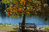 """D266-2014  A bench, a birch tree, and a view.<br /> <br /> The color is courtesy of dogwood trees<br /> <br /> Seen along the shore of Hidden Lake, Hidden Lake Gardens, Michigan<br /> September 23, 2014<br /> <br /> A filtered version of this shot was used as my DailyPhotos post for September 25, 2014 ( <a href=""""http://smu.gs/1qx8Pei"""">http://smu.gs/1qx8Pei</a> )."""
