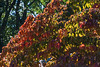 D265-2014  Detail if dogwood fall colors<br /> I love the range of colors you get in autumn in dogwoods, among other trees.  Only sassafras, in my opinion, rivals it for variation, wiwth sumac a distant third.<br /> <br /> September 22, 2014<br /> In our neighborhood