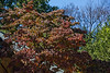 D265-2014  An unusually large dogwood in our neighborhood, already well on its way to peak color<br /> <br /> September 22, 2014