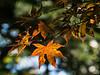 D266-2014  Fall foliage  <br /> Japanese maple on the Hosta Hillside<br /> <br /> Hidden Lake Gardens, Michigan<br /> September 23, 2014
