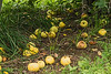 Windfall Apples - Fit Only for Critters of Various Sizes