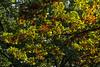 D272-2014  Front yard oak just beginning to turn.<br /> <br /> September 29, 2014