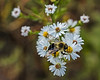 White aster with bee