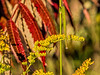 Golden goldenrod and red sumac - Ketchup and mustard colors