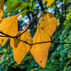Yellow sassafras leaves - like ripe pears