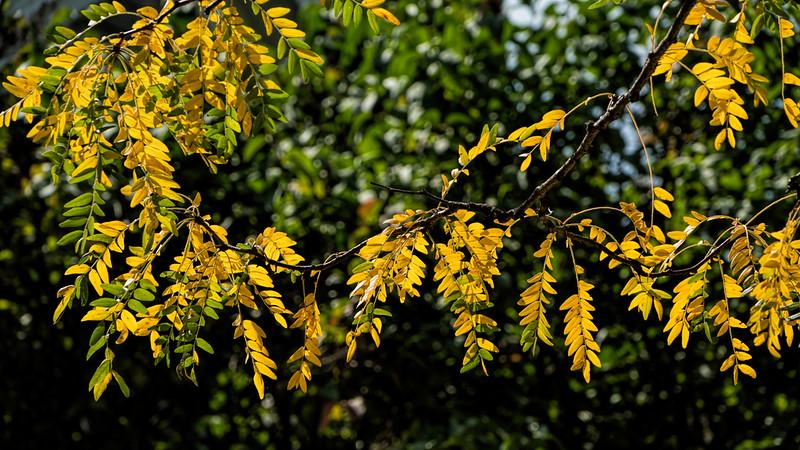 For 2017-09-23:  Sun shining through locust leaves