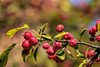 Crabapple fruit in early autumn