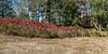 Line of sumac, glowing red (For 2017-10-07)