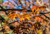Unidentified maple tree with fall colors
