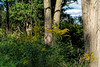 Goldenrod among the trees