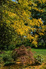 D263-2017  <br /> Locust trees in autumn gold.  This one over-arches a small Japanese maple.<br /> <br /> Ann Arbor, Michigan<br /> Taken September 20, 2017