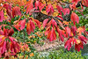 Sassafras in autumn