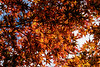 Canopy of Japanese maple