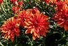 Chrysanthemums at the garden center