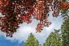 Japanese maple overhead (sc 2018-9-26&27)
