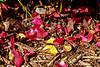 Fallen petals - roses