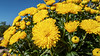 Pleasure Dome - A mound of mums