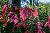 Euonymus in fall - Pink leaves & red berries