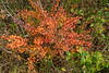 Barberry growing naturalized in the meadow area