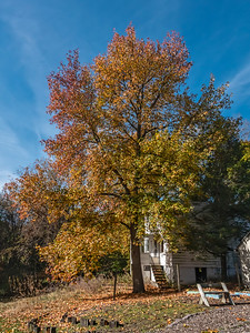 Very tall sweetgum tree in fall
