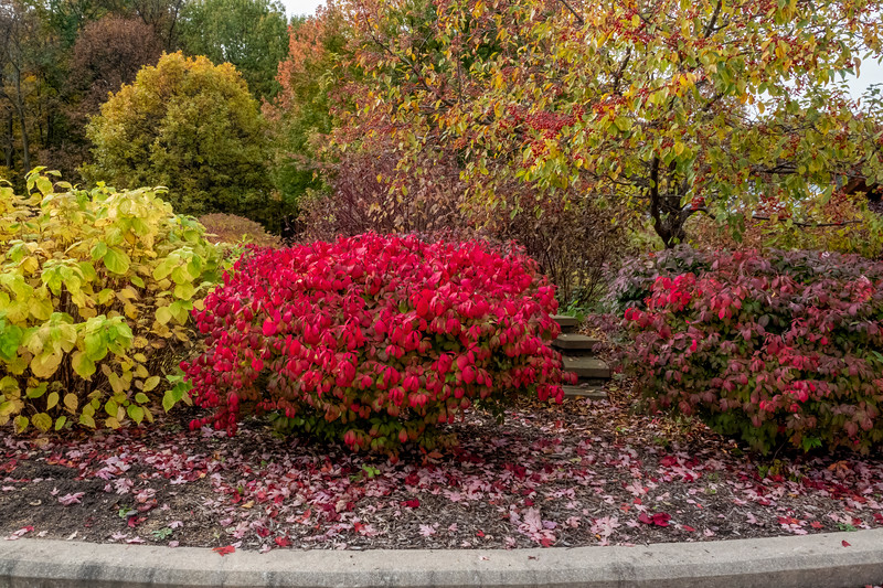 Euonymus on fire