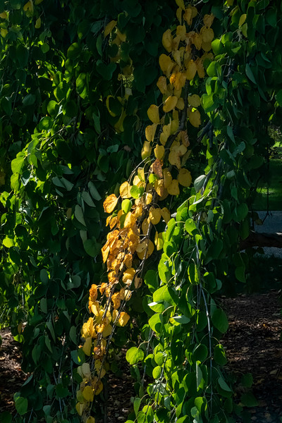 Weeping birch or aspen?