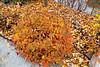 D301-2019<br /> Unidentified shrub, possibly spirea japonica, aka meadowsweet<br /> <br /> Frederik Meijer Gardens, Grand Rapids, Michigan<br /> Taken October 28, 2019