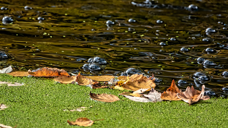 Duckweed, fallen, floating leaves, and bubbles