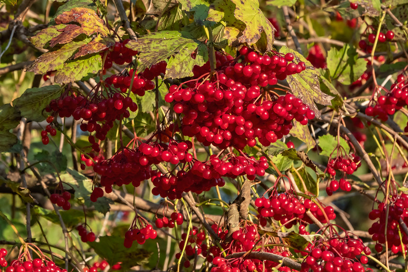 D267-2019<br /> High bush cranberry, Viburnum trilobum<br /> <br /> Frederik Meijer Gardens & Sculpture Park<br /> Grand Rapids, Michigan<br /> Taken September 24, 2019