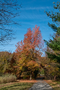 Sweetgum in fall