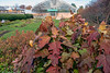 D311-2019<br /> Oak Leaf Hydrangea<br /> <br /> Matthaei Botanical Gardens, Ann Arbor<br /> Taken November 7, 2019