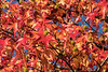 D309-2016  Sweetgum tree<br /> <br /> Taken November 5, 2016<br /> Gallup Park, Ann Arbor, Michigan