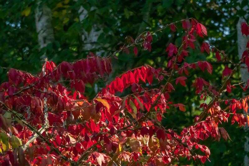 Euonymous in fall garb