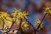 Fall-blooming witch hazel, Hamamelis virginiana
