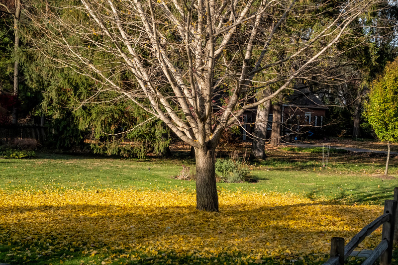 D313-2019<br /> Ginkgo with sudden leaf loss<br /> <br /> Huntington Drive<br /> Ann Arbor, Michigan<br /> Taken November 9, 2019